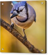 Blue Jay In Golden Light Acrylic Print