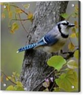 Blue Jay In Red Bud Acrylic Print