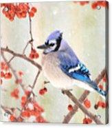 Blue Jay In Snowfall Acrylic Print