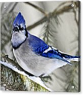 Blue Jay In Winter Acrylic Print