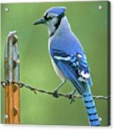Blue Jay On The Fence Acrylic Print