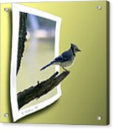Blue Jay Perched Acrylic Print