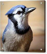Blue Jay Portrait Acrylic Print