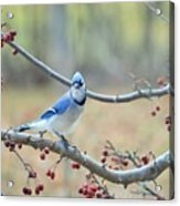 Blue Jay Poses In Crab Apple Tree Acrylic Print