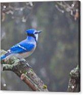 Blue Jay Song Acrylic Print