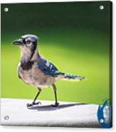 Blue Jay Walk Acrylic Print