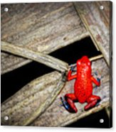 Blue Jeans Frog Acrylic Print
