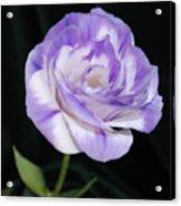 Blue Lisianthus Layered Loveliness II  Acrylic Print