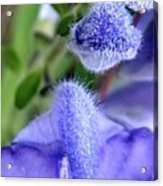 Blue Lupine Flower 1 Of 5 Shots Acrylic Print