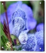 Blue Lupine Flower - 2 Of 5 Shots Acrylic Print