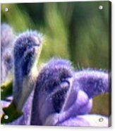 Blue Lupine Flower - 5 Of 5 Shots Acrylic Print