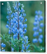 Blue Lupine In The Tetons  Acrylic Print
