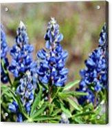 Blue Lupines Acrylic Print