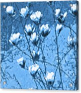 Blue Magnolia Acrylic Print