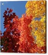 Blue Maple Acrylic Print