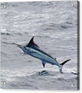 Blue Marlin At Oregon Inlet North Carolina Acrylic Print