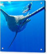 Blue Marlin Magic Acrylic Print