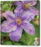 Blue Mist Clematis Acrylic Print