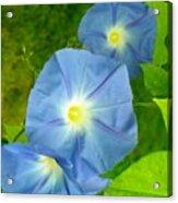 Blue Morning Glories Acrylic Print