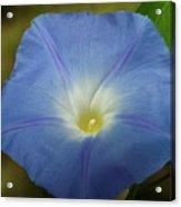 Blue Morning Glory Acrylic Print
