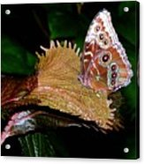 Blue Morph Butterfly Acrylic Print