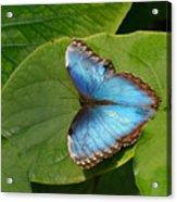 Blue Morpho Butterfly II Acrylic Print