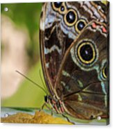 Blue Morpho Butterfly Morpho Peleides  Acrylic Print