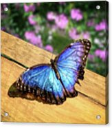 Blue Morpho Butterfly On A Wooden Board Acrylic Print