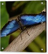 Blue Morpho Butterfly Acrylic Print by Sandy Keeton
