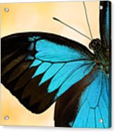Blue Morpho Closeup Acrylic Print