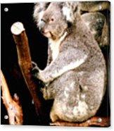 Blue Mountains Koala Acrylic Print by Darren Stein