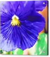 Blue Pansy Acrylic Print
