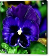 Blue Pansy Flower Acrylic Print