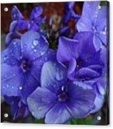 Blue Paradise Phlox Acrylic Print