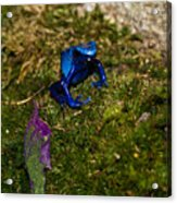 Blue Poison Arrow Frog Acrylic Print