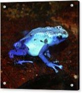 Blue Poison Dart Frog - Dendrobates Azureus Acrylic Print