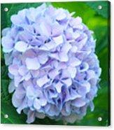 Blue Purple Hydrandea Floral Art Botanical Prints Canvas Acrylic Print