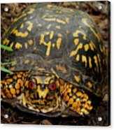 Blue Ridge Box Turtle Acrylic Print