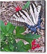 Blue Ridge Butterfly Acrylic Print