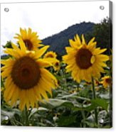 Blue Ridge Sunflowers  Acrylic Print