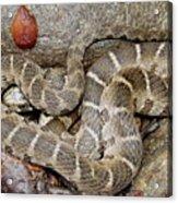 Montreat Water Snake Acrylic Print