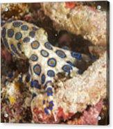 Blue Ring Octopus Acrylic Print