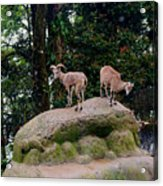 Blue Sheep Acrylic Print