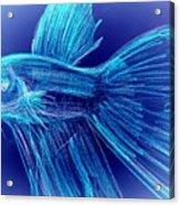 Blue Siamese Fighting Fish Acrylic Print