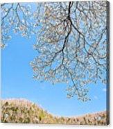 Blue Skies And Dogwood Acrylic Print