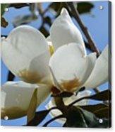 Blue Skies Magnolia Acrylic Print
