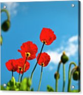 Blue Sky And Poppies Acrylic Print