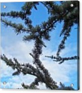 Blue Sky Art Prints White Clouds Conifer Pine Branches Baslee Troutman Acrylic Print