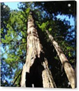 Blue Sky Big Redwood Trees Forest Art Prints Baslee Troutman Acrylic Print