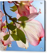 Blue Sky Floral Art Pink Dogwood Tree Flowers Acrylic Print